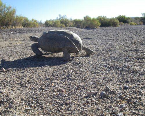 A tortoise walking over desert terrain.